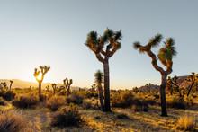 Desert Joshua Trees At Sunset