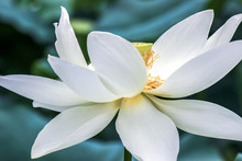 Close Up Of Blooming White Lotus Flower