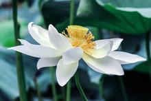 Blooming White Lotus Flower Wi...