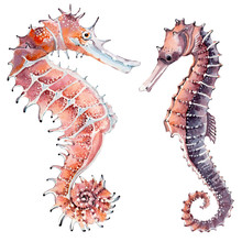 Hand Drawn Watercolor Seahorse.