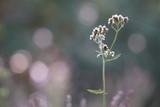 Schafgarbe Achillea millefolium im abendlichen Zwilicht - 172923834