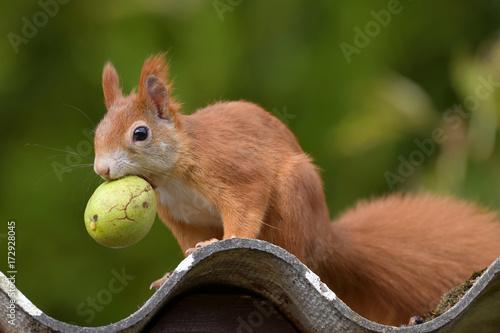 Foto op Canvas Eekhoorn Eichhörnchen mit Nuss
