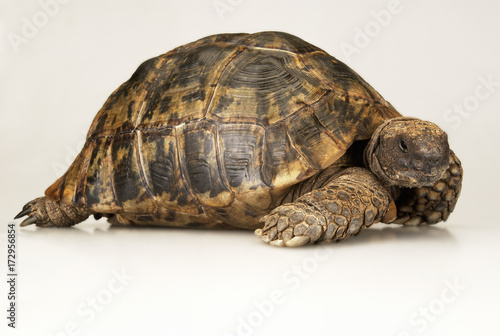 Poster Tortue Tortoise on white background
