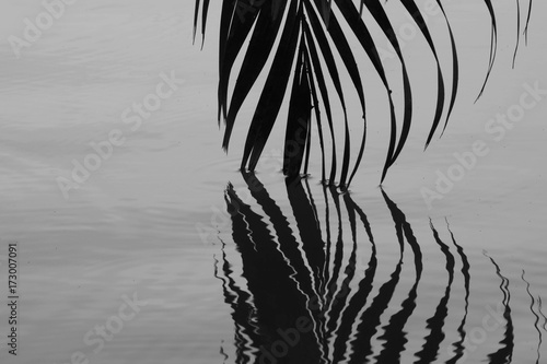 palm-coconut-leaf-and-reflection-on-the-water-monochrome