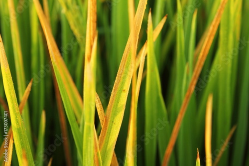 Mildew on rice leaf in rice field Canvas-taulu