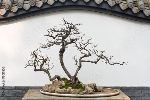Spoed Fotobehang Bonsai Bare bonsai tree in front of a chinese white wall, Chengdu, China