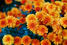 Colorful Chrysanthemum Flowers In The Fall