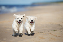 Two Happy Puppies Running On The Beach