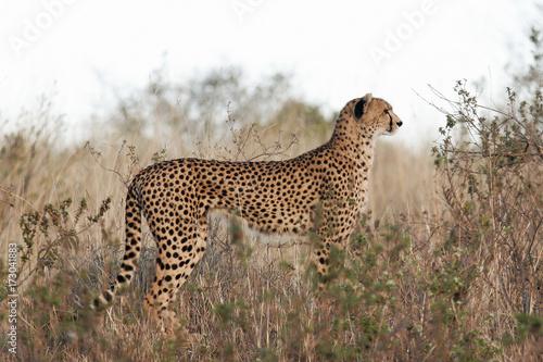 Staande foto Afrika Cheetah