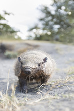 Portrait Of Andean Hairy Armadillo In The Wild