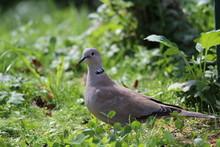 Eurasian Collared Dove In The ...