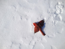 Red Bird Lying In Snow With Wi...