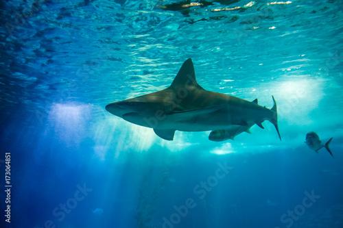 Plakat Podwodne niebieskie tło z promieni słonecznych. Wielki rekin w dużym akwarium z wodą morską. Oceanarium w Lizbonie, Portugalia. Turystyka, wakacje i rekreacja.