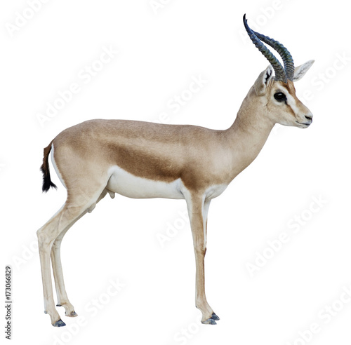 Foto op Canvas Antilope Antelope isolated on white background