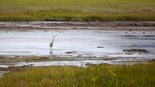 Great Blue Heron In The Marshe...