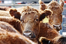 Red Angus Cattle During Feeding Time