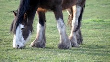 Clydesdale Horse Grazing In Fi...