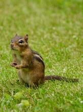 Watchful Chipmunk