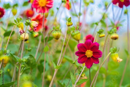 Zdjęcie XXL Zadziwiający piękny bokeh tło z jaskrawymi purpurowymi dalia kwiatami. Kolorowy kwiatowy ogród