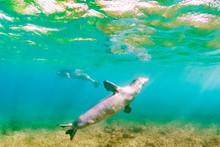 Monk Seals Swimming