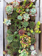Succulent Plants In A Wooden P...