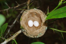 Hummingbird Nest With Two Eggs...