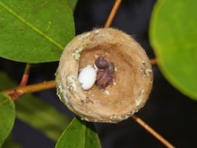 Nest Of Hummingbird With One E...