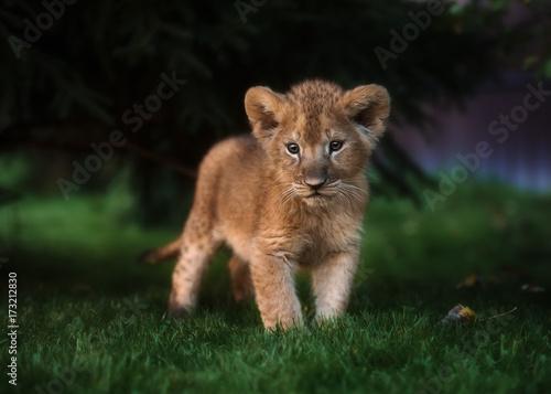Staande foto Leeuw African Lion cub, South Africa