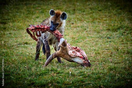 In de dag Hyena Mittagsmenü einer Hyäne