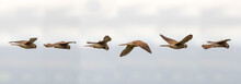 Kestrel (Falco Tinnunculus) Ho...