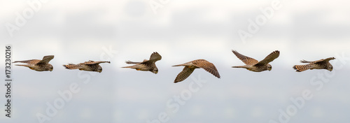 Kestrel (Falco tinnunculus) hovering in flight. Composite of postions of bird scanning for prey whilst maintaining static relative to the ground
