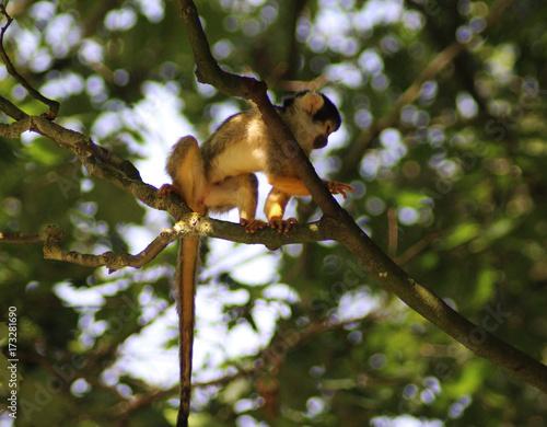 Fotobehang Eekhoorn black-capped squirrel monkey (Saimiri boliviensis)