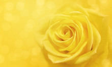 Yellow Rose And Bokeh For Soft Background Use