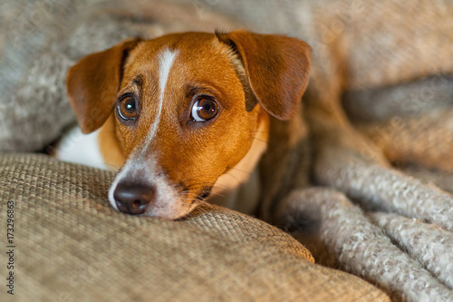 Fototapety, obrazy: Cute jack russell dog resting or sleeping under a blanket.