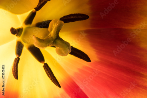 Yellow Tulip Macro