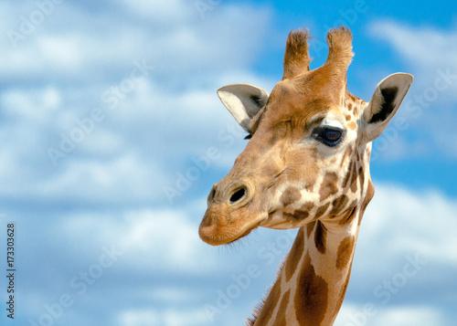 Poster Giraffe animal
