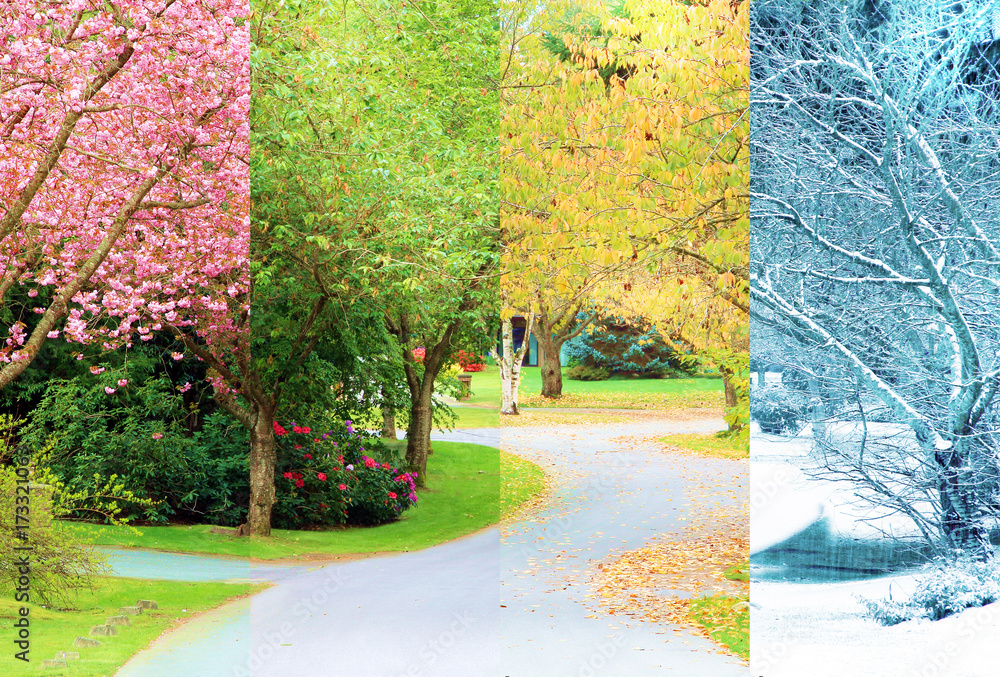 Fototapeta A composite collage of four images of one street lined with cherry trees photographed in all four seasons from the exact same location. Branches in the trees line up perfectly.