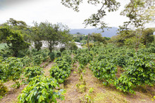 Coffee Plantation Bajo Boquete...