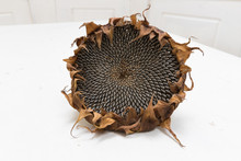 Single Freshly Harvested And Dried Sunflower Head On White Background Wooden Rustic Table, Seeds Ready For Harvesting With Copy Space