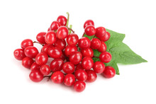 Viburnum Berries With Leaves Isolated On White Background