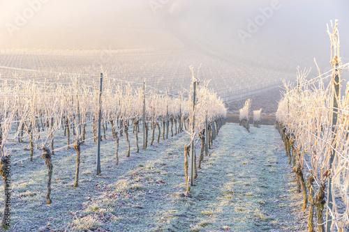 Tuinposter Wijngaard Winter und morgendlicher Bodenfrost im Weinberg