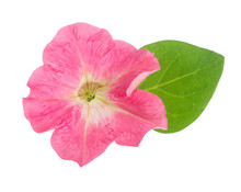 Pink Flower Of Petunia With Gr...