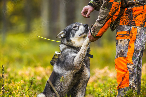 Foto op Canvas Jacht Swedish Moosehound in the fall hunting season