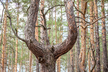 Old Crooked Pine Tree In A Coniferous Forest  After Beeing Cut Grew Up Into A Three Tree Trunks