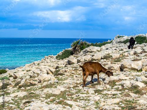 Plakat szczęśliwa koza na Morzu Śródziemnym