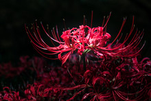 暗所のヒガンバナ,  The Red Cluster Amaryllis