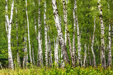 Panel Szklany Podświetlane Brzoza Birch grove on a sunny summer day, summertime landscape
