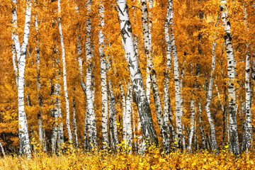 Panel Szklany Brzoza Birch grove on a sunny autumn day, autumn time landscape