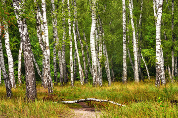 Fototapeta Brzoza Birch grove with a road on sunny summer day, summertime landscape