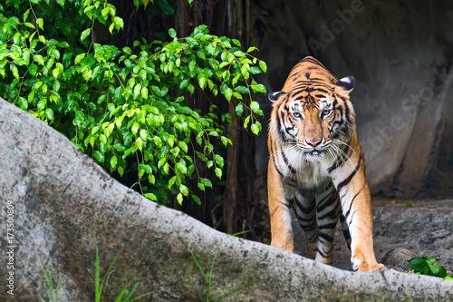 Spoed Foto op Canvas Tijger Close up tiger.